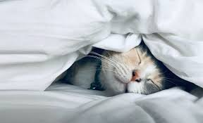 A sleeping cat's face peeps out from uner a duvet on a bed.