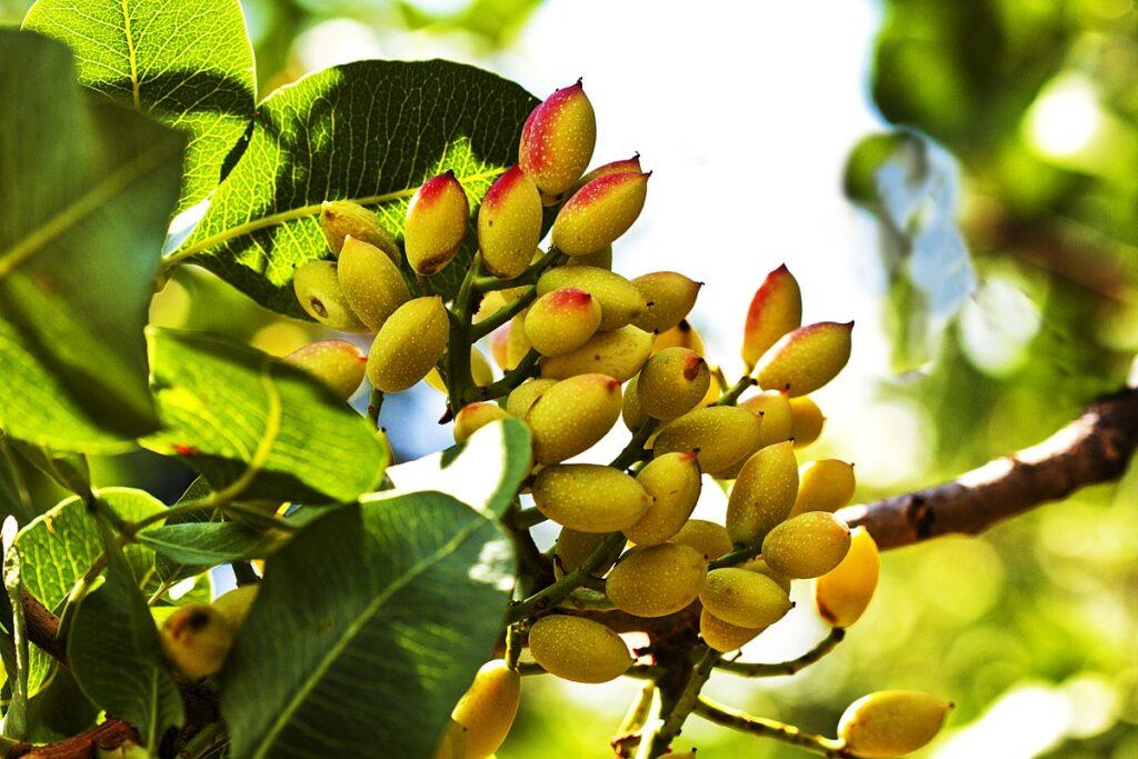 Pistachio nuts on the tree